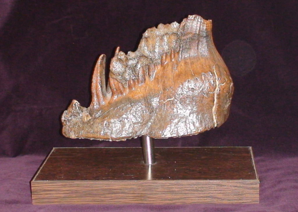 фото зубы мамонта