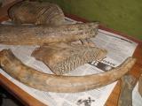 Бивни мамонта, зубы мамонта